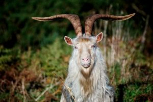 What appears to be an innocent billy goat is something evil and dark that cannot be spoken of.