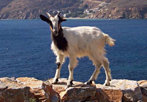 Katsika - A Greek goat.